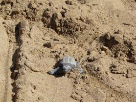 Mořská želva caretta caretta v písku na Zakynthosu